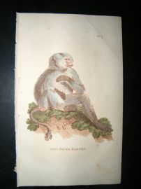 Brightly 1811 Antique Hand Col Print. Dog-Faced Baboon